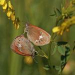 Gr0ßes Wiesenvögelchen (Coenonympha tullia)