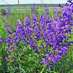 Wiesensalbei (Salvia pratensis) Im NSG Jamikower Trockenrasen