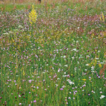 Blütenteppich in den Müllerbergen