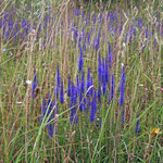 Ähriger Blauweiderich (Pseudolysichmachia spicata) Jamikow
