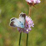 Silbergrüner Bläuling (Polyommatus coridon)