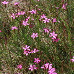 Heidenelken (Dianthus deltoides) bei Hohenfelde