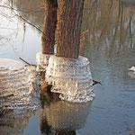 Bei Wasserrückgang bleiben oft Eismanschetten an den Bäumen zurück
