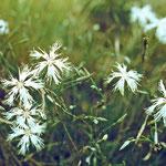 Sandnelke (Dianthus arenarius)