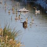 Im Winter recht selten zu beobachten: Bekassine in einem eisfreien Graben