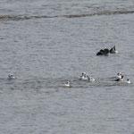 Auch die Balz der Zwergsäger ist in vollem Gange - hier bemühen sich gleich 9 Männchen um ein Weibchen