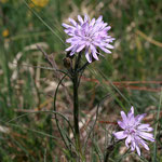 Violette Schwarzwurzel (Scorzonera purpurea)