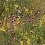 Kartäuser Nelke (Dianthus carthusianorum) Müllerberge