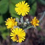 Natternkopfhabichtskraut (Hieracium echoides) Trockenrasen Jamikow