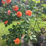 Rose Westerland 2016