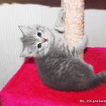 Шотландские короткошерстные вислоухие котята