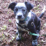 Pet Stop Dog Fence - Cattle dog mix puppy