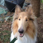 Pet Stop Dog Fence - Rough Collie