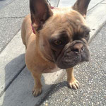Pet Stop Dog Fence - French bulldog