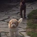 Pet Stop Dog Fence - Golden Doodle