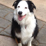 Pet Stop Dog Fence - Border Collie