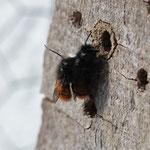 Paar der Gehörnten Mauerbiene, Foto: Heike Walter
