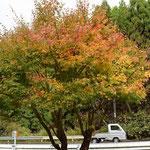 峠を越えて倉吉に向かう途中、通りがかり、Uターンしてカメラを構えてしまった可愛らしさのある紅葉。