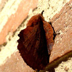 MAB - photographie - feuille papillon