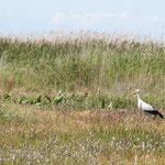 Une cigogne dans une prairie environnante