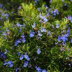 Romarin officinal - Photo Les Plantes dans tous les senss