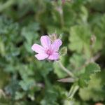 Géranium rosat - Photo Les Plantes dans tous les sens
