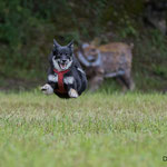 Perla, Islandhund