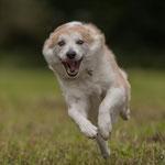 Tarawood's Elja Snerpa, Islandhund