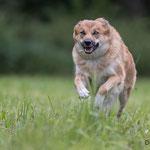Cylia, Islandhund