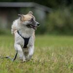 Tarawood's Fenja, Islandhund