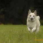 Jörvi, Islandhund