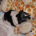 25.02.2015 - 31 Tage alt - Aisha kuschelt mit dem Teddy