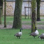 Bernaches (parc du Grand Jard à Châlons)