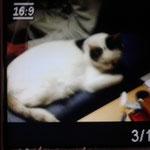 Minka 01/2015 vermisste Katze dank Foto auf unserer HP nach 2 1/2 Monaten wieder beim Besitzer