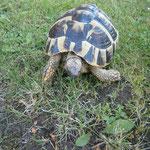 Schildkröte 07/2012 wieder an Besitzer zurück