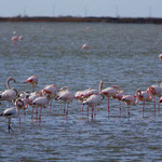 Flamants roses - Salin de Giraud mars 2014