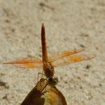 Die orange Libelle