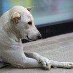 Der elegante Hund