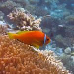 Clown- oder Anemonenfisch