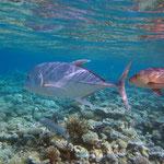 Weissspitzen-Riffhai, Dickkopfmakrele und Schnäpper