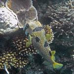 Masken-Igelfisch