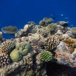 Schöne Korallenbank