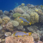 Orient-Süsslippenfische