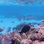Der Weissspitzen-Riffhai