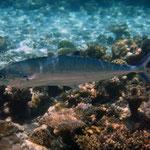 Zweipunkt-Makrele