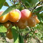 Die Mirabellen sind reif und werden von Hand vom Baum geerntet