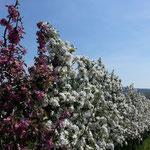 Die Apfelbäume blühen wunderschön im Frühjahr