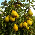 Die Williamsbirnen sind reif und werden von Hand vom Baum geerntet