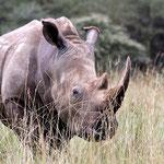 rhino tsavo west in2kenya