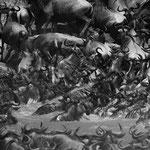 great migrations masai mara in2kenya